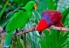 Благородный попугай (Eclectus roratus) - ручные птенцы из питомников Европы