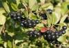 Арония или рябина черноплодная Викинг (в тубе)